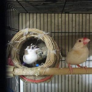 梵天十文鳥