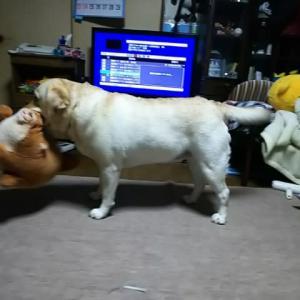 柴犬ブーちゃん♪