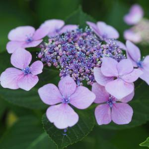 遅い梅雨入りの日の紫陽花撮り