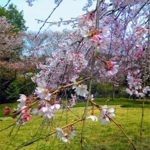 4/14お花見ゆる散歩