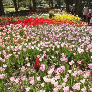 春色~チューリップ