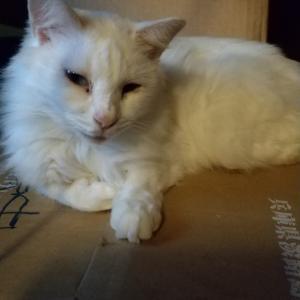 白猫のユキちゃん