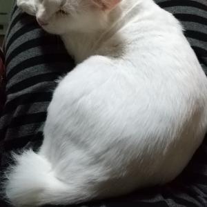 ユキちゃんがひざで寝てくれました
