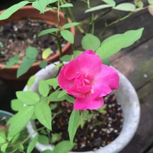 ピンクの薔薇って〜