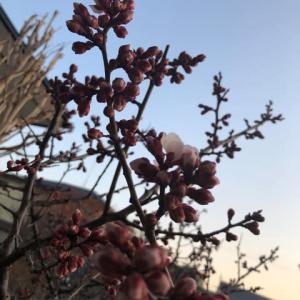 3.11杏の花が咲きました。