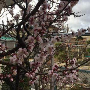 あんずの花が咲き始めました!(^^)