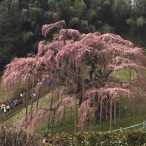 滝桜に想う