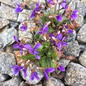 スミレの花の押し花キャンドル