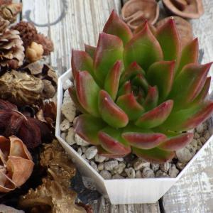 『 (相府蓮×プリドニスグリーンフォーム)×cuspidata menchaca 』&『 アガボイデス.v.Hidalgo 』。