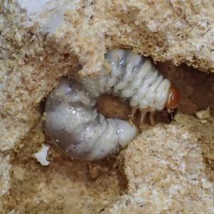 菌糸ビン交換 オオヒラタケ組の調子はどう?