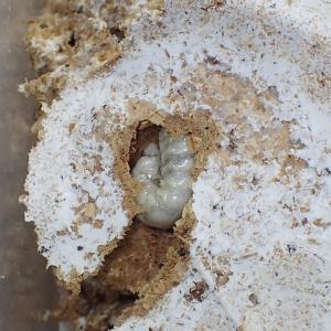 菌糸ビン交換 もうひとつのオオヒラタケ菌糸