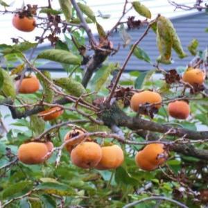 畠の柿の実