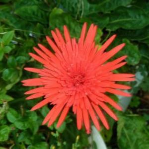 今年最後の赤い花