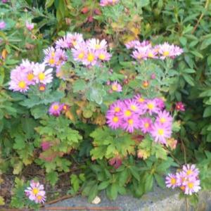 露地植えの菊