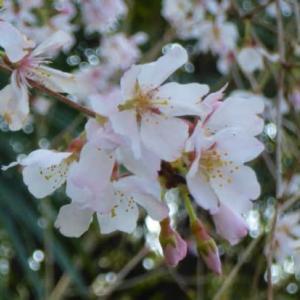 神社の参道下の通学路の枝垂れ桜