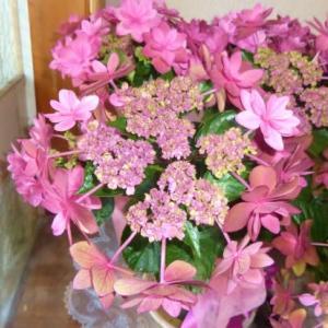 母の日の花 ガクアジサイ