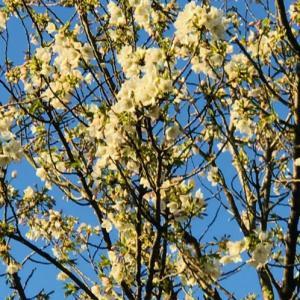 満開の公園の山桜