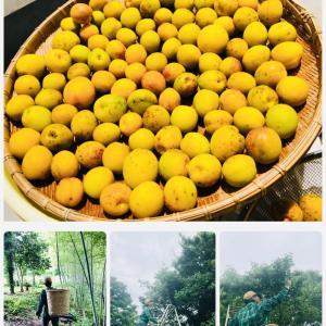 梅を摘んで梅仕事