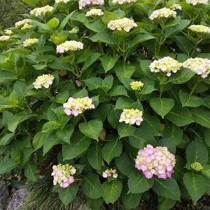 桑野木山荘だより 紫陽花が咲き始めました