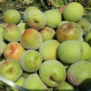 桑野木山荘だより 収穫した梅の実を使って