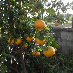 11月の柑橘(2020)