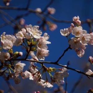 桜咲く~(^_-)-☆