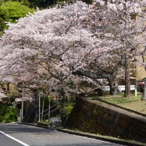 平成最後の桜プチツー🌸