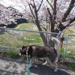 ソラと桜散歩
