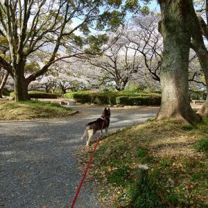 散り始めた舞鶴公園 桜散歩