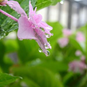 #紫陽花倶楽部2020紫陽花まつり『梅雨空に似合うアジサイ』