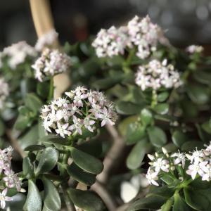 「金のなる木」の花を咲かせよう
