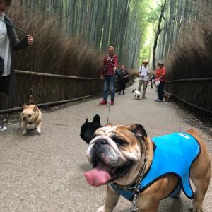 嵐山早朝ブヒ散歩②竹林の道編