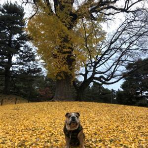 紅葉のお散歩 御所の大銀杏の木