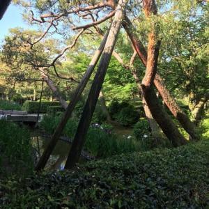 野村美術館庭のアヤメかカキツバタ咲き始めました