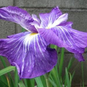 青紫のハナショウブ咲いた!