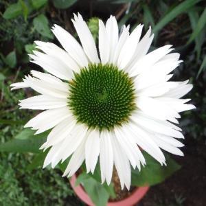 エキナセア・バージンがやっと開花!