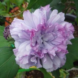 ムクゲ・紫玉が開花!