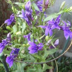 青紫の沢桔梗(サワギキョウ)が満開!