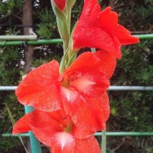 赤のグラジオラス開花!