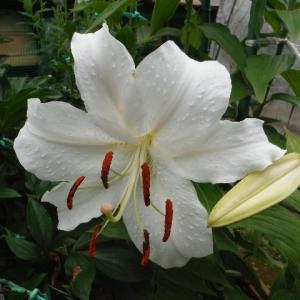 カサブランカが咲き始めた!