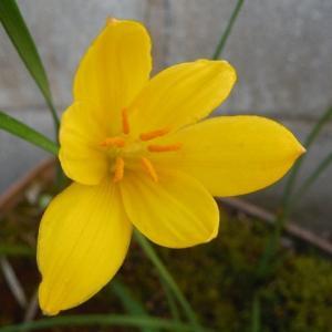 ゼフィランサス・シトリナの開花