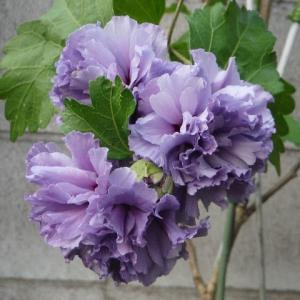 ムクゲ・紫玉が満開!