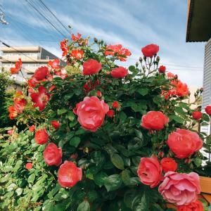 今年もきれいに咲きました♡