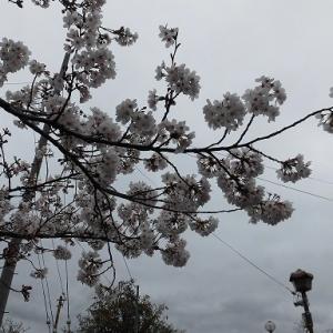 高瀬川の桜2020