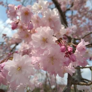 金鯱と尾張名古屋と桜