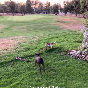 うちの庭にチワワの、お客様犬が2匹も。絶望・不動産。笑