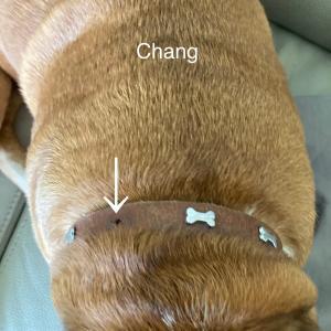 首輪の消耗が激しい、馬鹿力のチャン。成犬の、社会化トレーニング。