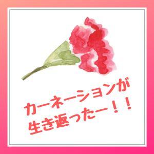 カーネーションが生き返った!古屋さん、ありがとう!ありがとう!ありがとーーーーーーーーー!!!