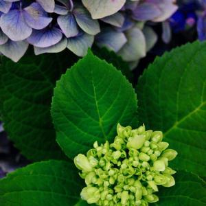 仲夏 6月25日 ⑦  紫陽花