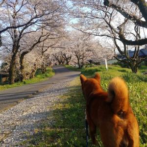 4/2 桜が満開!